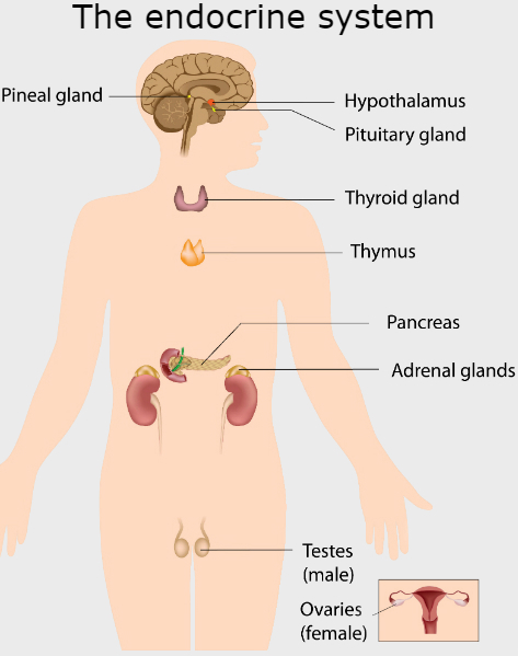 Glands Of The Body Google Search In 2020 Endocrine System Endocrine Pituitary Gland