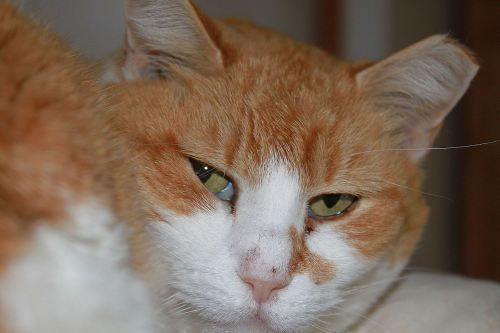 Meet Nicole, a Petfinder adoptable Domestic Short Hair - orange and white Cat | Middletown, NY | Nicole is one of our semi feral cats.  She is a pretty girl with the softest of fur.  If you...
