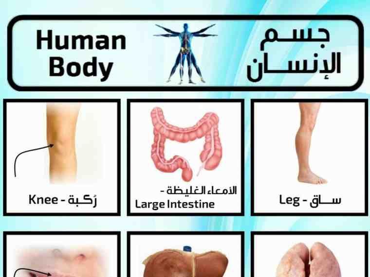 تعلم اسماء اعضاء جسم الإنسان باللغة الانجليزية وبالصور صورة ٣ Large Intestine Body Abs