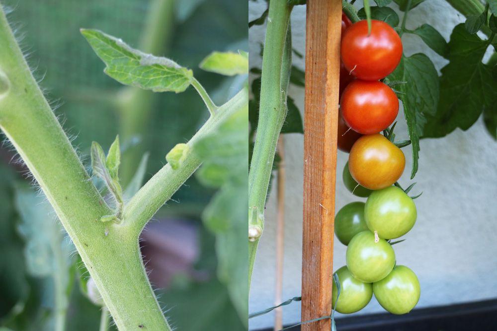 Tomaten ausgeizen - ja oder nein? Ab wann? Bebilderte Anleitung - Tomaten.de #tomatenzüchten