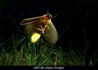 Firefly Insects Bugs