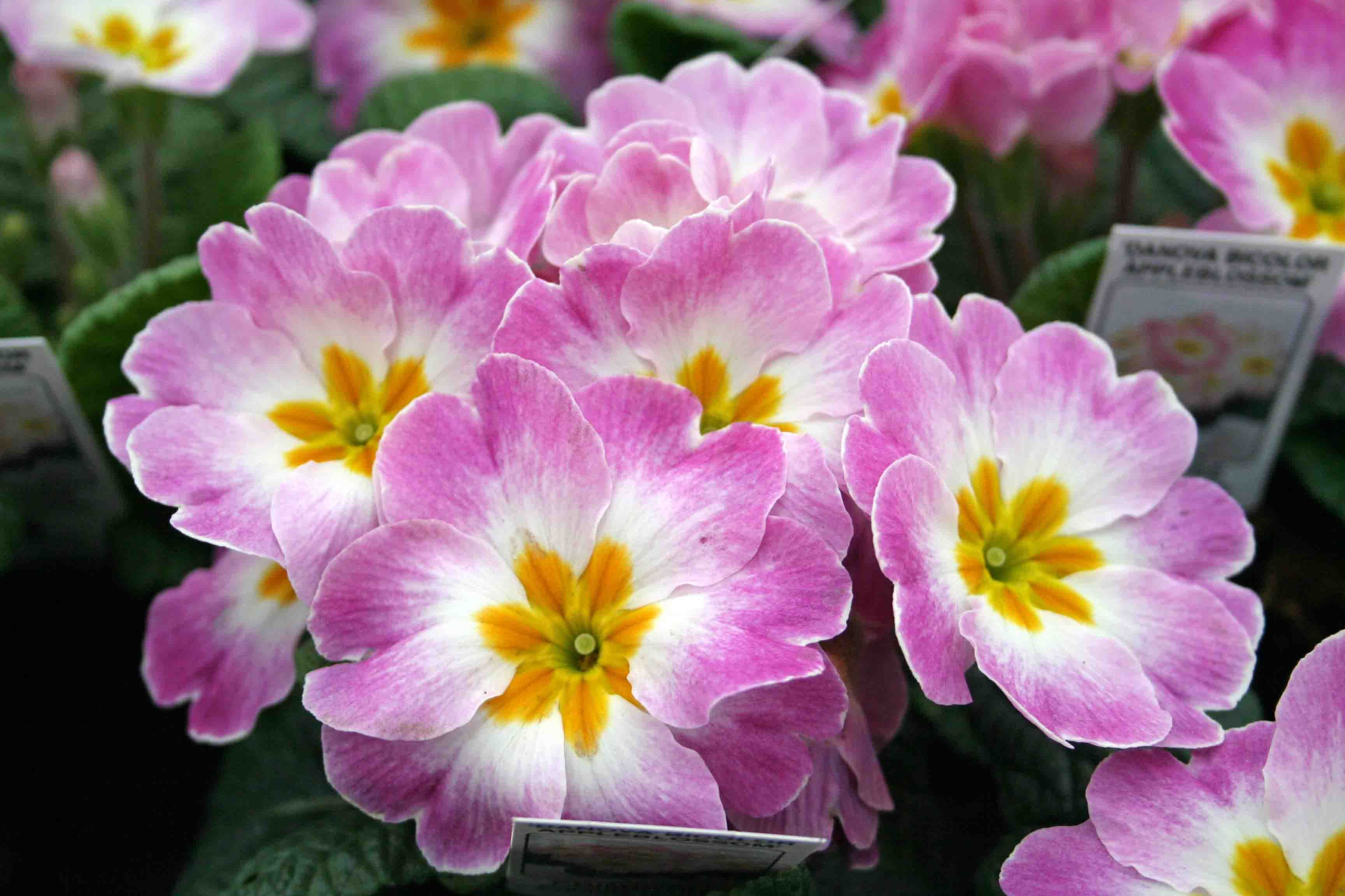 Primroses Bloom Late Winterearly Spring And Come In A Huge Variety