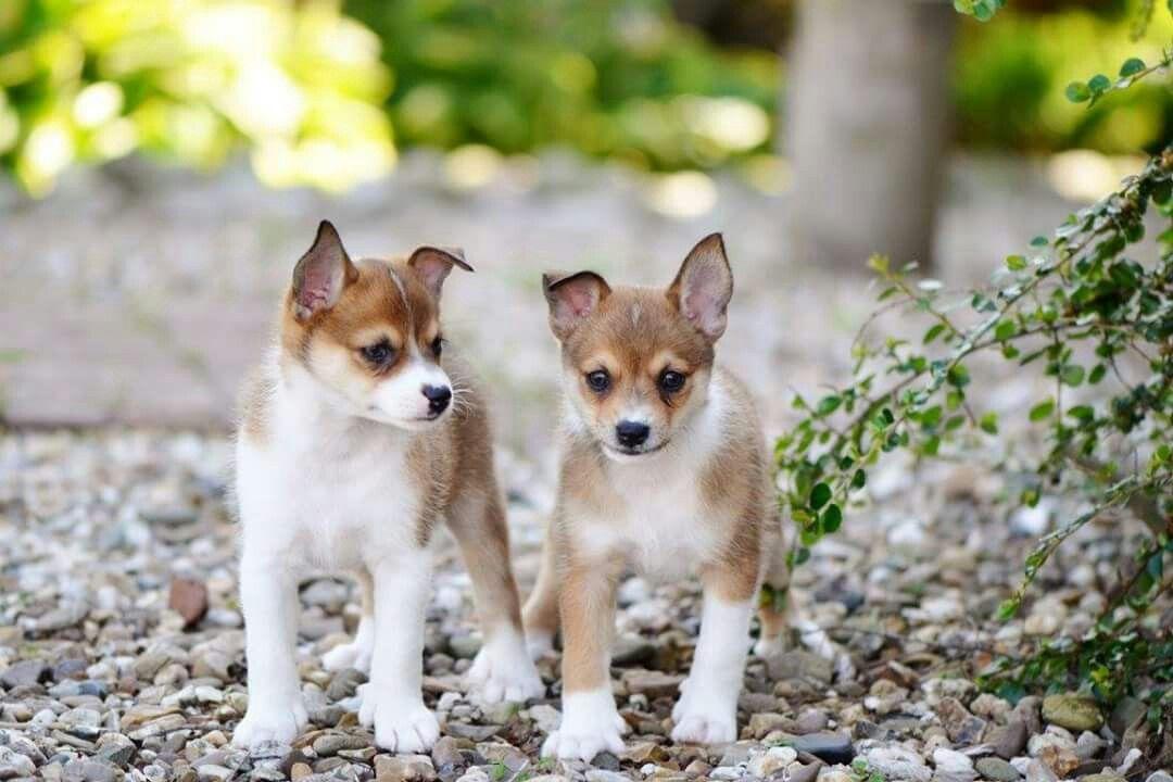 Norwegian Norsk Lundehund Puppy Wwwvorkosmiacom Cute Pets