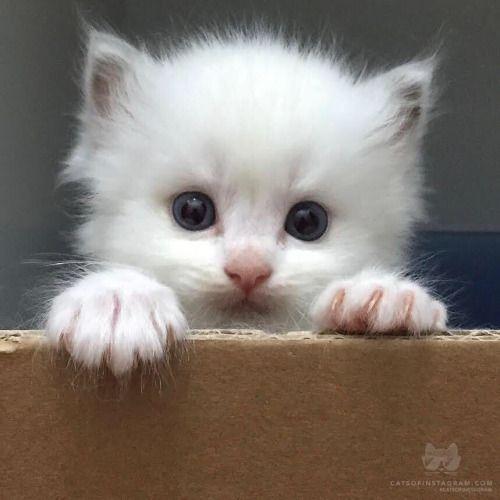 From Playground Ragdolls Pomelos Litter Box Training Begins Catsofinstagram Source Http Ift Tt 1hii85 Kittens Cutest Cute Animals Cute Cats And Kittens