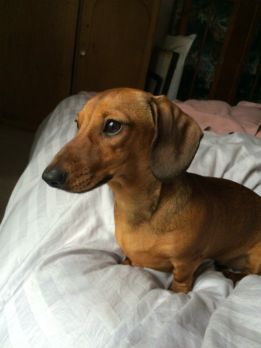 Pin by Penny Jones on Dachshund Weiner dog, Funny