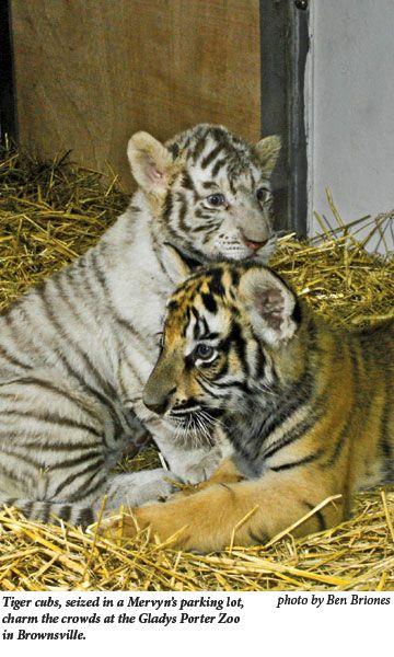 A Tiger S Tale Pet Tiger