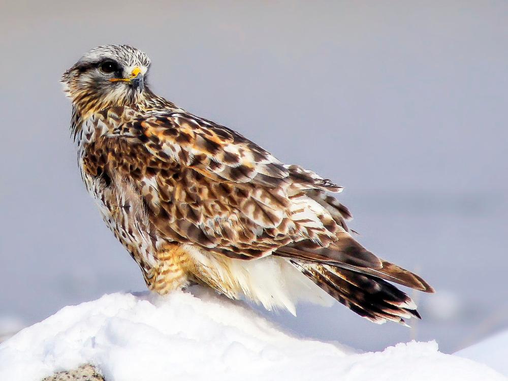 roughlegged hawk Google Search in 2020 Hawk photos