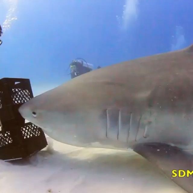 This is one of the most amazing things I've seen. He has no fear at all and is able to get this shark to perform tricks @sdmadventures is amazing #perfectvideos #supernatural powers @bossvideo