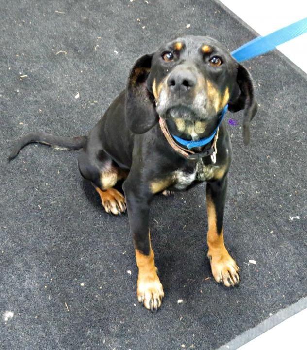Adopt Holly On Beagle Mix Vizsla Coonhound