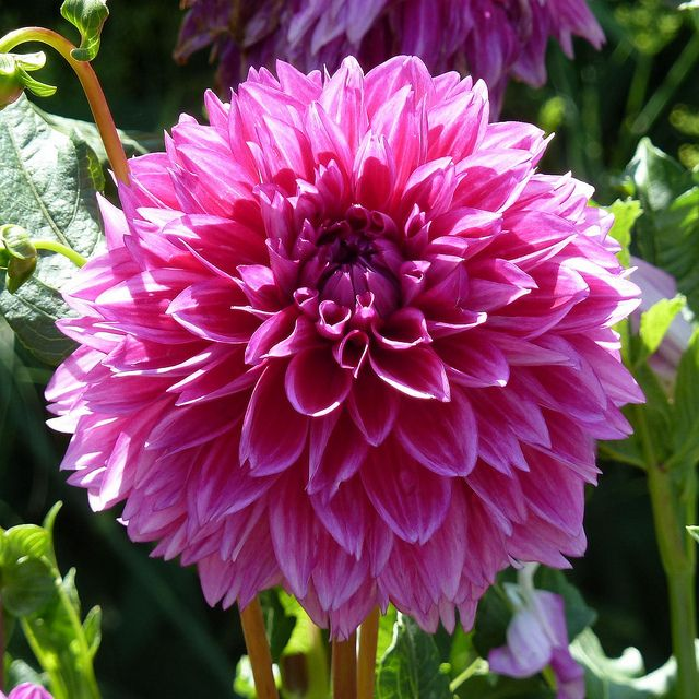 Dahlia - Hot Pink - Wholesale Bulk Flowers - Cascade Floral |Hot Pink Dahlia Flowers