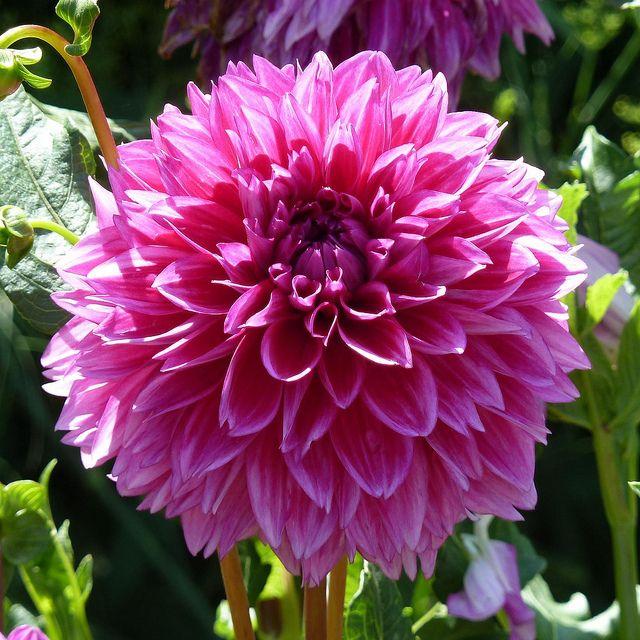 Dark Pink Dahlia Dahlia Flower Dahlia Flowers