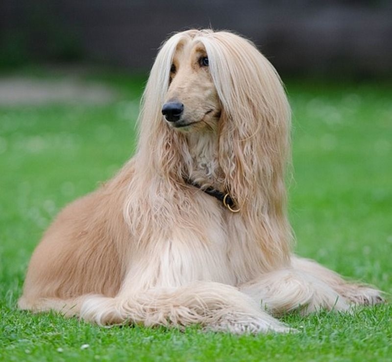 Long Haired Dog Breeds | Dog breeds, Dog and Afghan und