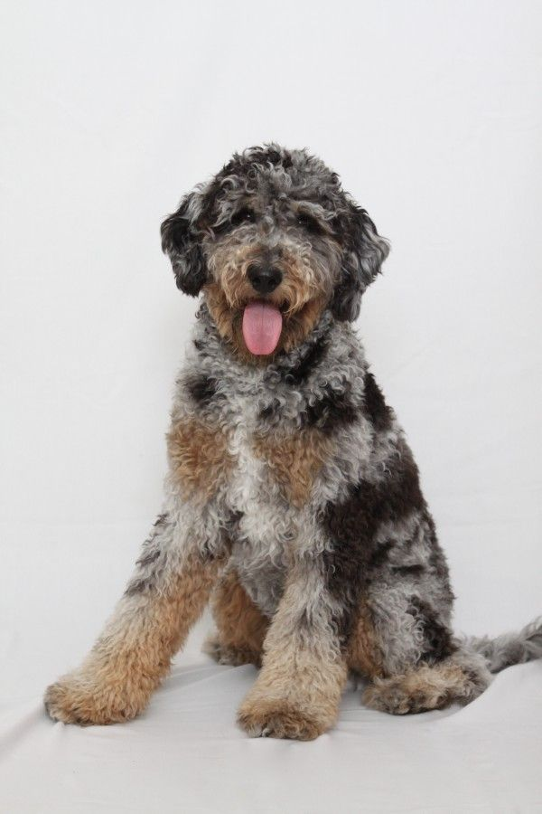 California Standard Size Aussiedoodle Puppies California