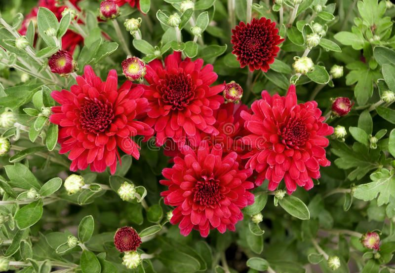 Red Mums Chrysanthemum Flowerbed Of Red Flowers Chrysanthe Sponsored Red Mums Iquest Iuml Raquo Ad In 2020 Mums Flowers Chrysanthemum Flower Tops