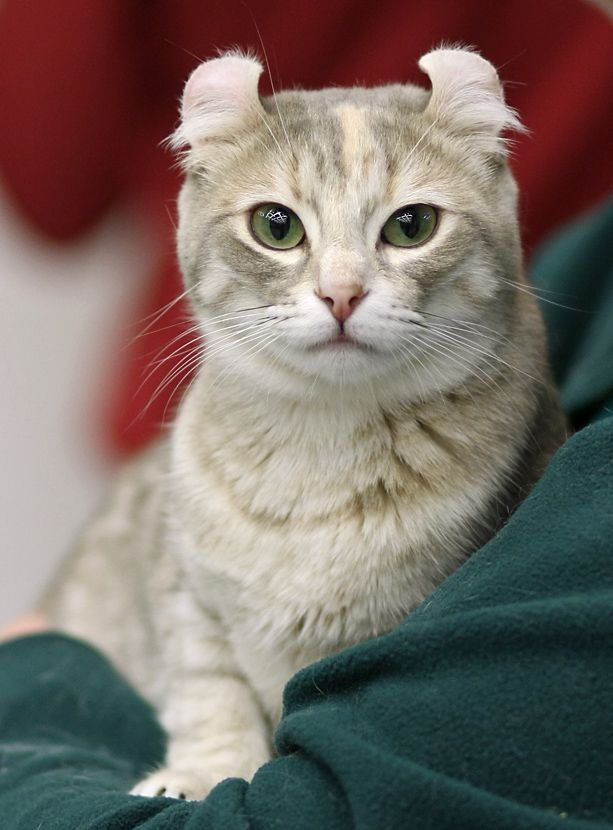 American Curl Tad And Kally American Curl Cat Breeds Cats