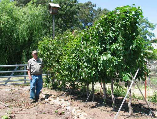 Hedgerow Planting Fruit Trees Dwarf Fruit Trees Fruit Trees