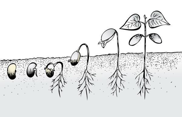 Bean Seed Germination Life Cycles Bean Plant Seed Art