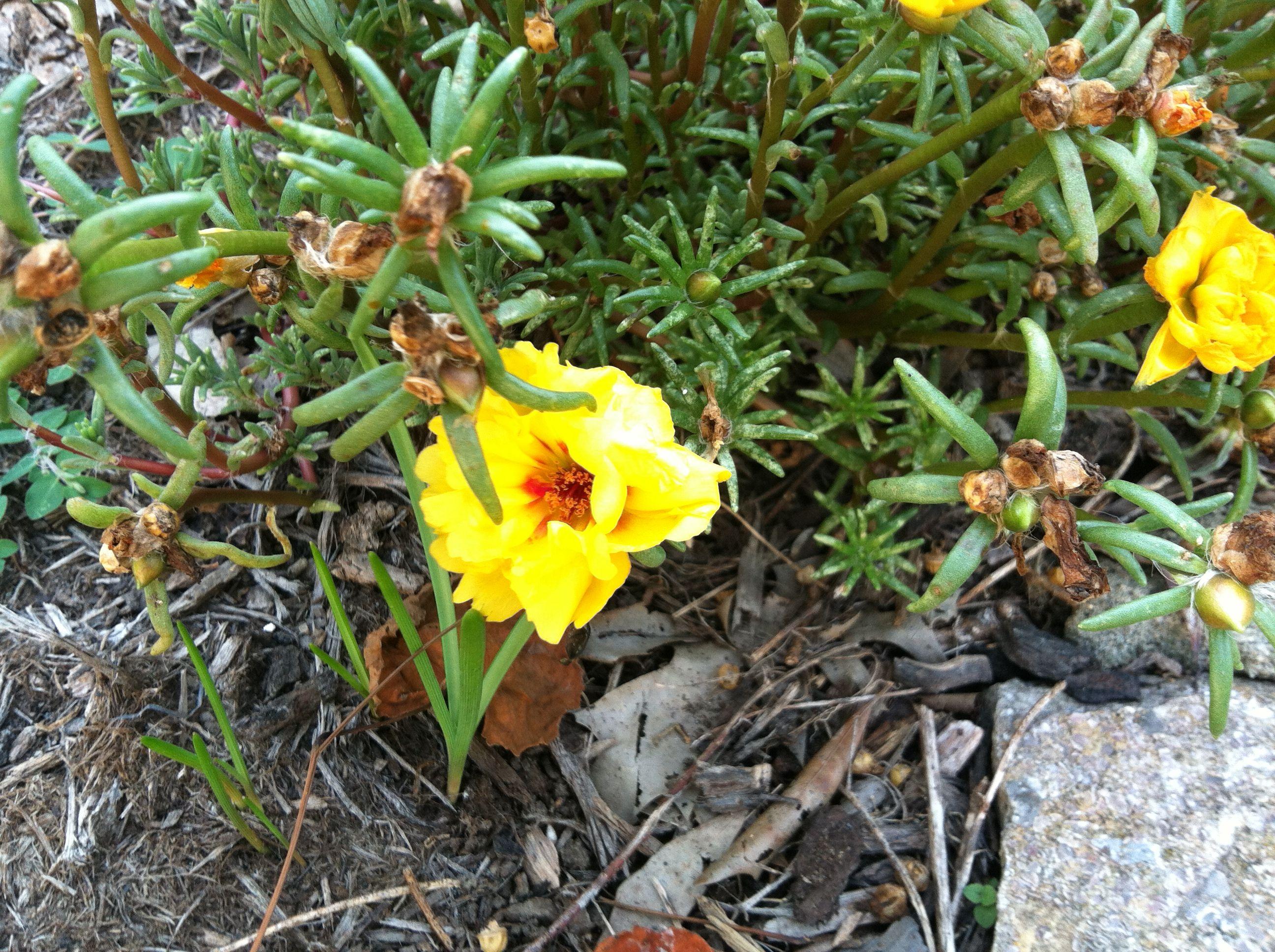 Portulaca Grandiflora Known As Moss Rose Really Pretty Flowers