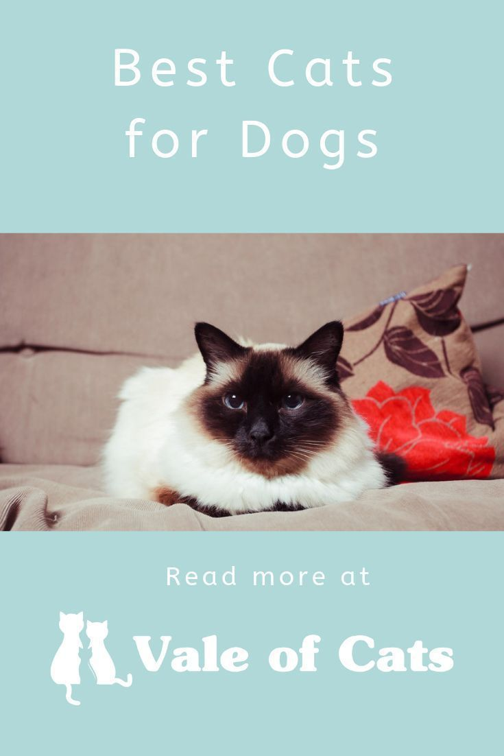 Best Cats for Dogs #catbreeds