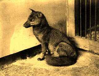 Small-eared dog/zorro, London Zoo 1913