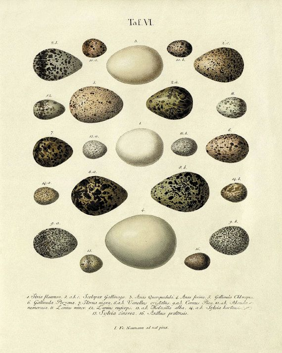 Vintage Bird Eggs art Print Nature print home by VictorianWallArt