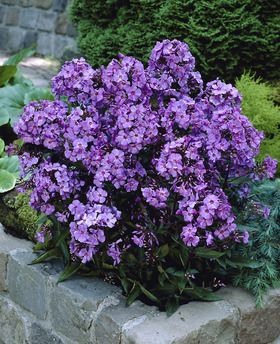 Lights Phlox Paniculata Blue Paradise Flowers Open Purple With A Small White