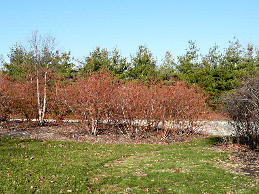Red Osier Dogwood Tree Photo Gallery Red Twig Dogwood Dogwood Trees Dogwood