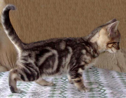 Marbled Tabby Brown Marble Tabby Longie Banx 1 Brown Marble Tabby 1 Bengal Cat Cat Breeder Manx Kittens