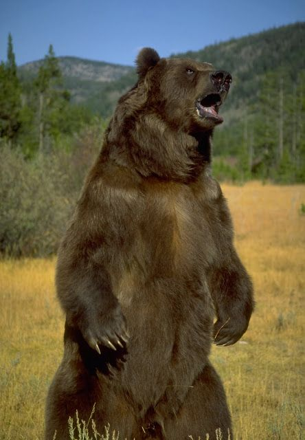 Art Print Poster Standing Grizzly Bear | eBay | Bear with ...