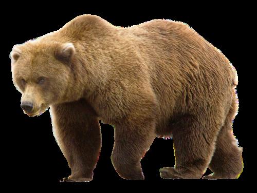 Bear Png Grizzly Bear Bear American Black Bear