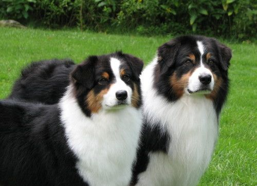 Cute Not Sure But These Might Be Beninese Mountain Dogs They Look A Lot Like Some Of The Aussie S Australian Shepherd Dogs