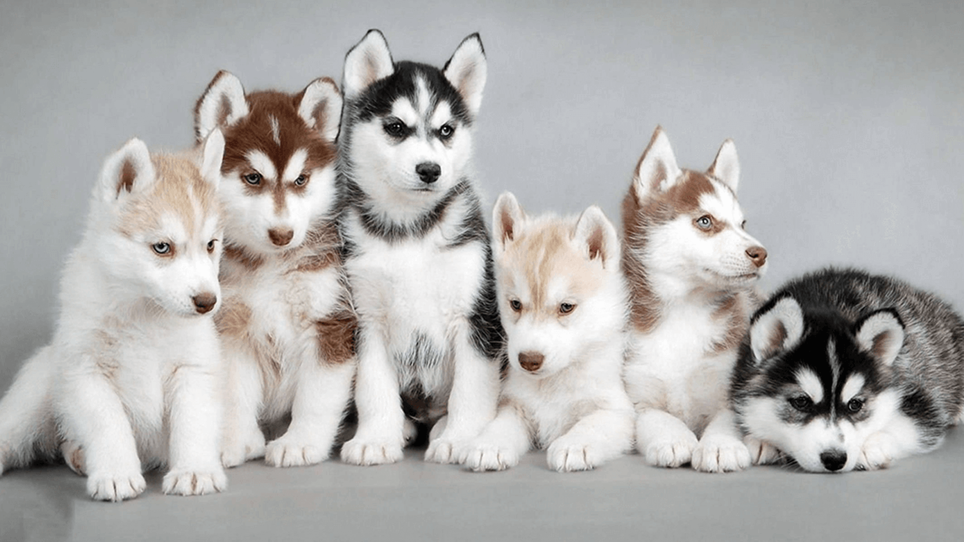Siberian Husky Colors Vary And Many People And Lovers Of Siberian Huskies Hold Mistaken Impressions In Regards To What The Pomsky Dog Husky Puppy Pretty Dogs