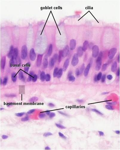 Ciliated Columnar Epithelium | For the love of Anatomy ...
