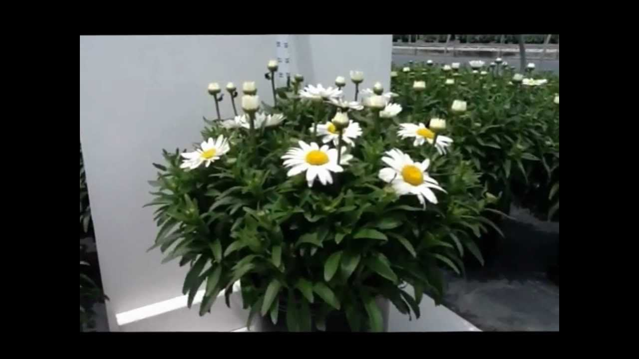 Best Flowering Perennials Shasta Daisy Leucanthemum Snowcap
