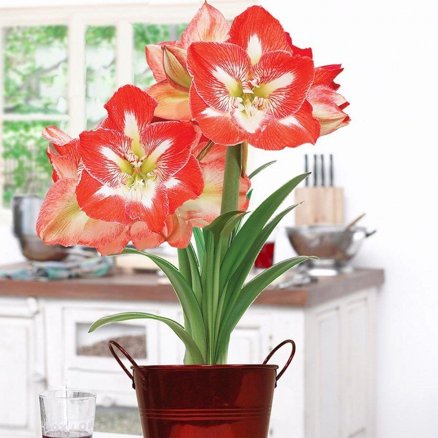 I Will Tell You The Truth About Pretty Flowers For Weddings In The Next 11 Seconds Red Amaryllis Planter Gift Amaryllis Bulbs