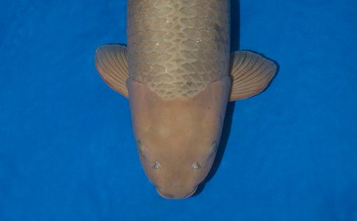 Koi-Exclusive pakt Jumbo Champion met 97cm Chagoi    De bruine bast werd 13 jaren geleden gekweekt door Hisashi Hirasawa zoals de shacho – baas – van de Marudoh Koi Farm naam draagt. Een vis met een buitengewoon zachtaardig karakter.   http://www.koiquestion.be/2014/06/22/koi-exclusive-pakt-jumbo-champion-met-97cm-chagoi/