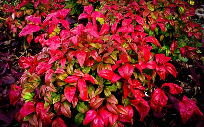 Firepower Nandina Red plants, Backyard plants, Garden online