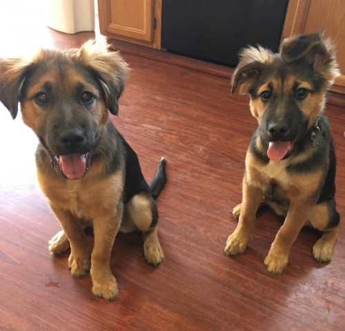 Crazy German Shepherd For Owner Bed Australian Shepherd Havanese Puppies German Shepherd Puppies