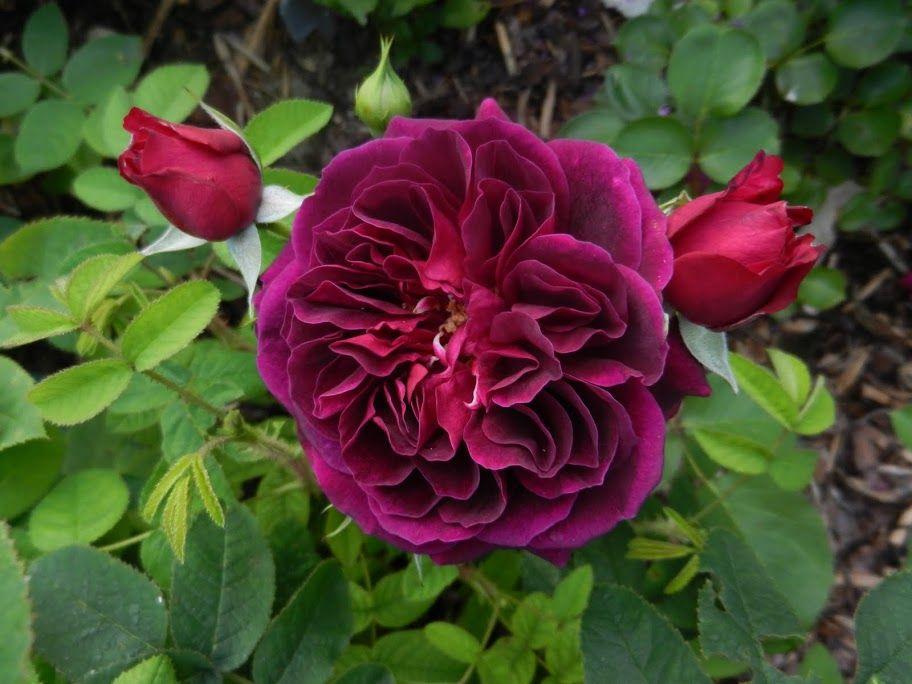 Rosa 'Tradescant' (U.K., 1993)