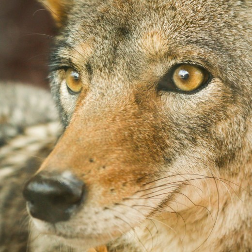 What to Do If You See a Coyote While Walking Wildlife