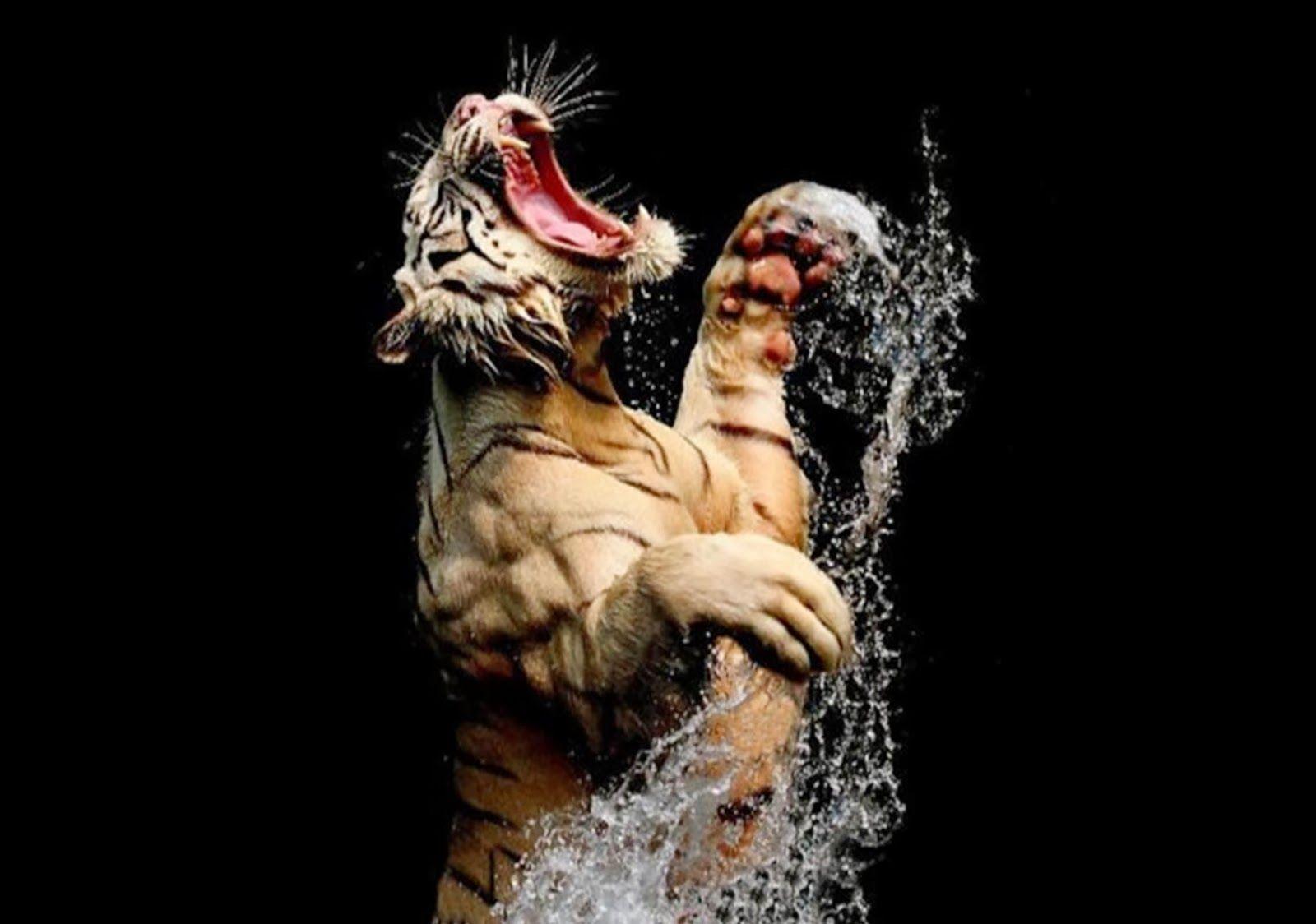 Angry Tiger Wallpaper Hd 11967 Usbdata