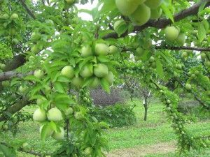 Growing With Stark Bro S A Growing Legacy Since 1816 Fruit Food Garden Garden Items