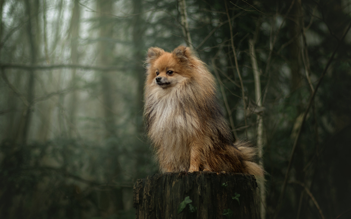 Download Wallpapers Pomeranian Spitz Furry Brown Dog Pets Dogs