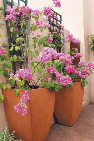 An idea to grow bougainville in pots mexican theme for Jarrones decorativos para jardin