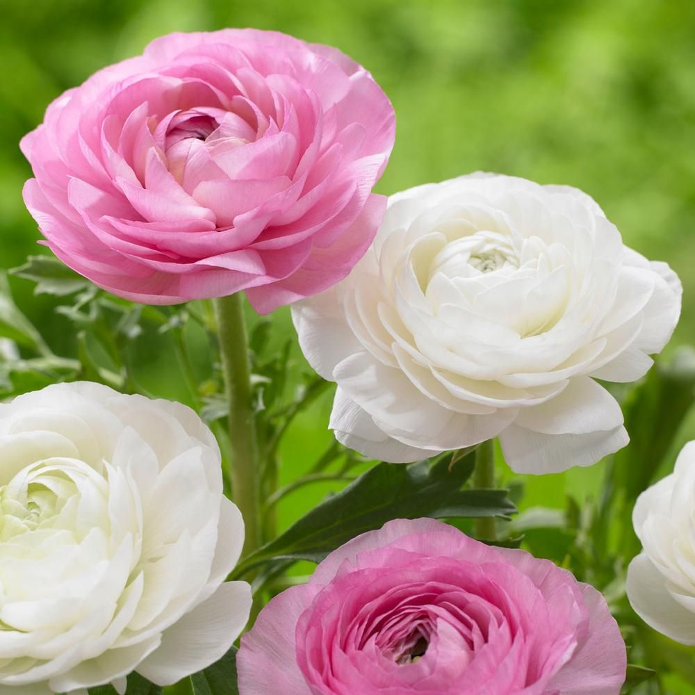 Ranunculus Tomar Pinkwhite Exquisite Flowers With A Long Vase Life