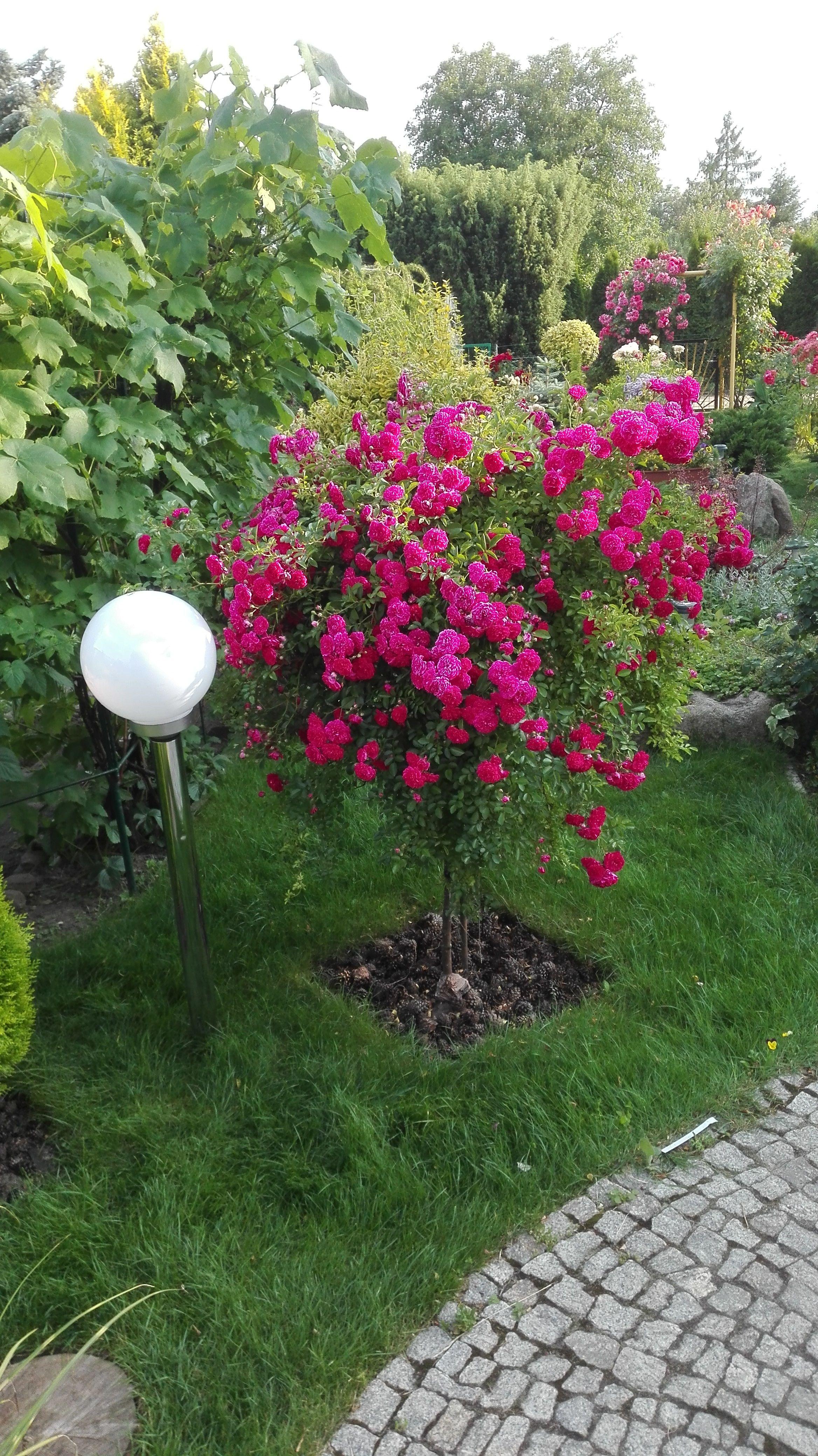 Roza Na Pniu W Ogrodzie Plants Garden Flowers
