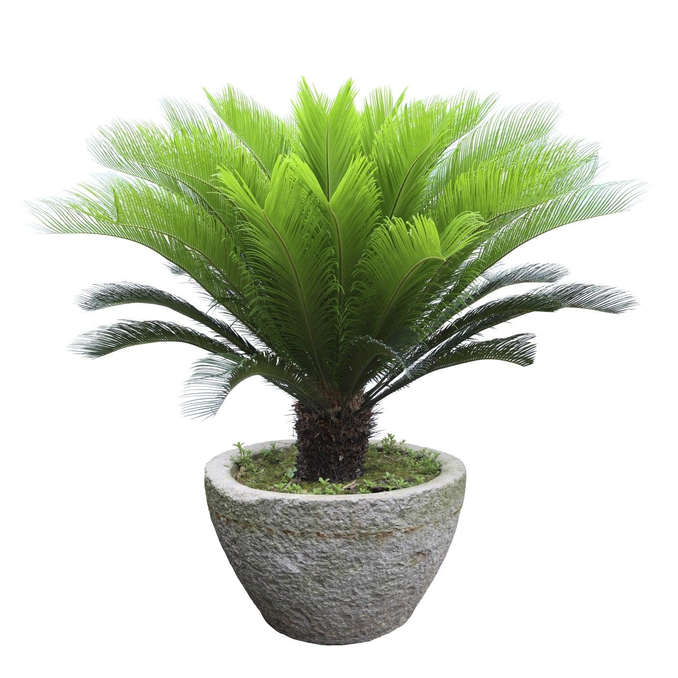Sago Palm Fertilizer  When And How To Fertilize Sago Palm Plants