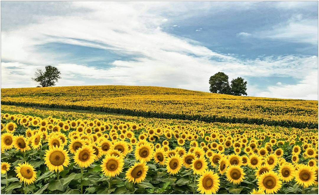 Grinter Farms Sunflower Field - Lawrence, KS | Sunflower fields ...