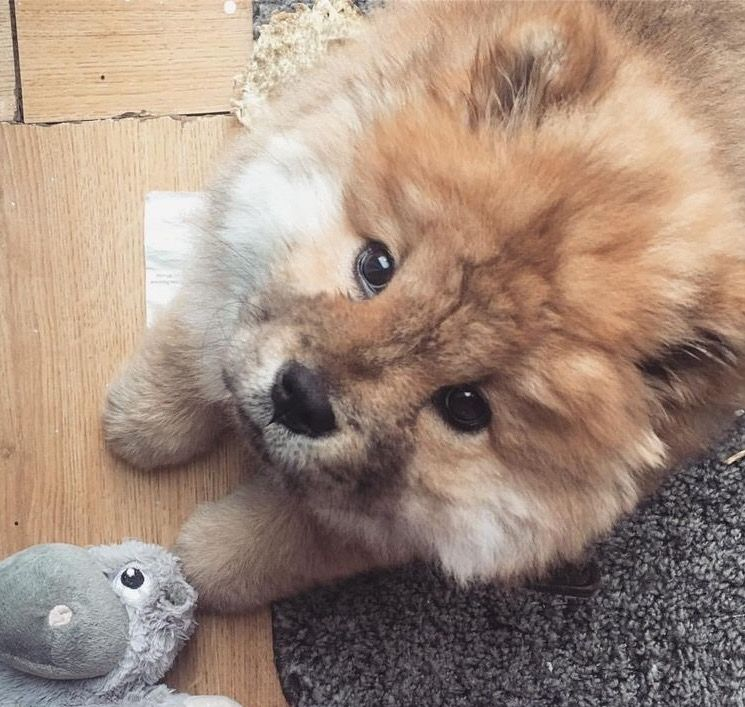 chow chow | cha cha CHOWS! | Pinterest | Animal