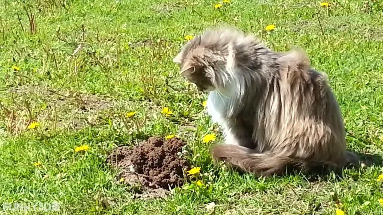 Cat Sees Mole Coming Out Of The Ground And His Reaction Is HILARIOUS!